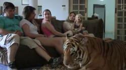 7 tigres à la