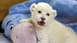 Los primeros intentos de un león blanco aprendiendo a rugir