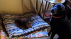 Quand les chats décident de voler le panier des chiens