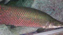Ce poisson est doté d'un blindage...