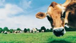Allemagne: des flatulences de vaches causent une