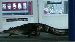 Un alligator au