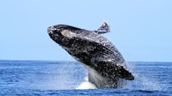 Humpbacks At Risk From Oil