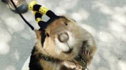 Beaver Dressed As Bee For Halloween Is Awesomely