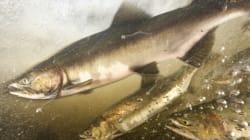 Des groupes contestent la production d'oeufs de saumons