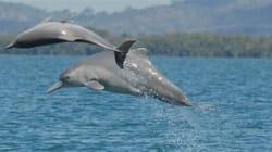 Une nouvelle espèce de dauphin identifiée en