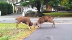 WATCH: EPIC DEER