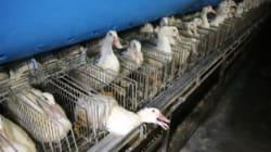 Foie gras des grands chefs: de la torture haut de