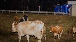 Un camion transportant des vaches se renverse sur l'autoroute