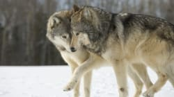 Miley Cyrus, Pamela Anderson Are Right On B.C.'s Wolf