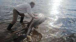 Un requin s'étouffe avec un