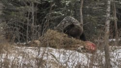 WATCH: Grizzly Feasts On