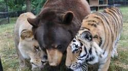 Comment un lion, un tigre et un ours sont devenus copains comme