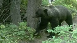 WATCH: When The Hikers Are Away, The Bears Will