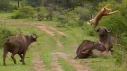 Un buffle fait voler un lion pour sauver un de ses