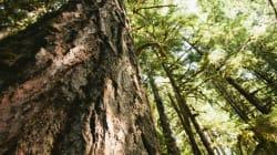La protection de la forêt boréale progresse mais des menaces