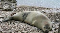 La foca monaca riappare sulla costa