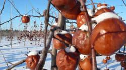 La cueillette des pommes glacées, une expérience