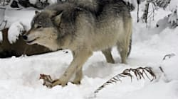 Photographers Bait Wolves In The Worst Possible