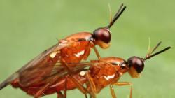 Les insectes aussi ont leur Kâmasûtra