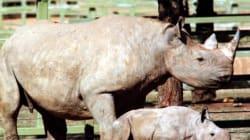 Un permis de chasse aux rhinocéros noirs vendu 350.000 dollars... pour protéger