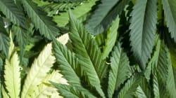 Cannabis aux États-Unis: des banques refusent l'argent venant des ventes
