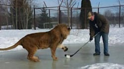 This Lion Playing Hockey Will Melt Your