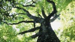 Les vieux arbres nous aident plus qu'on ne le