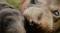 LOOK: Elephant Seal Born On Live