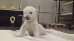白くてモフモフ かわいすぎるシロクマの赤ちゃん【動画】