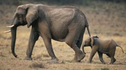 Every Parent's Nightmare Is an Elephant's