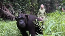 L'émouvant geste de remerciement d'un chimpanzé remis en