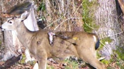 Deer Shot With Arrow In Maple