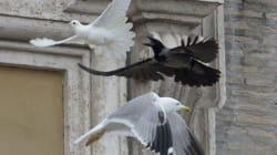 Le colombe del Papa attaccate da un corvo e un gabbiano