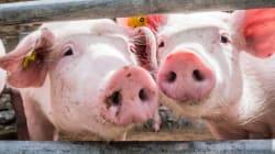 Pork Shortage Threatens