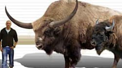 Like The Mammoth, Sabre Toothed Tiger, Bison Too Have A Giant