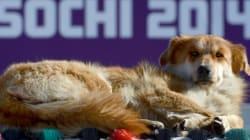 Gare aux chiens errants à Sotchi