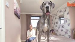 Dites bonjour à Freddy, le plus grand chien d'Angleterre (bientôt du monde