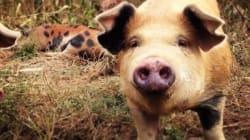 Les cochons heureux font-ils de la viande