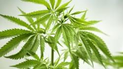 Des chercheurs croient savoir pourquoi le cannabis donne si