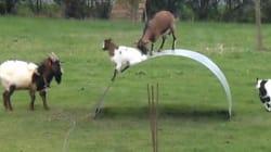Ces chèvres s'amusent comme des folles en faisant du