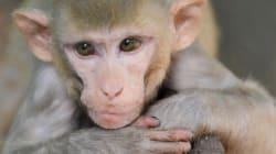 Espoir pour les paralysés: un singe actionne le bras d'un autre par la