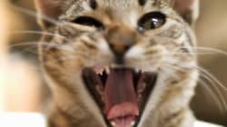 L'étrange corrélation entre les morsures de chat et la