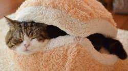 Voilà à quoi ressemble un chat entre deux tranches de