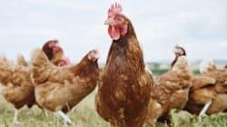 Pour les volailles, les antibiotiques sont encore trop