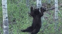 WATCH: Tenacious Bear Turns To Acrobatics For Meat