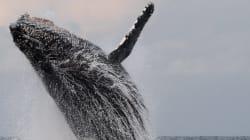 Pourquoi des gens imitent des baleines sur le Web