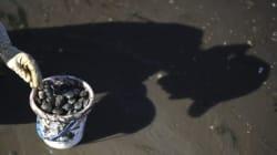 La palourde royale, l'or de la côte pacifique
