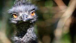 Emu Escaped In