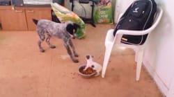 Ce chien minuscule veut TOUTE la nourriture